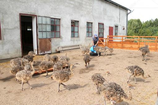 Ostrich Chicks,eggs And Feathers For Sale